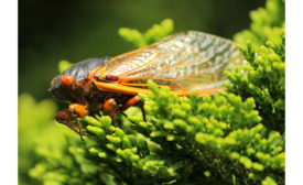 033121-cicada